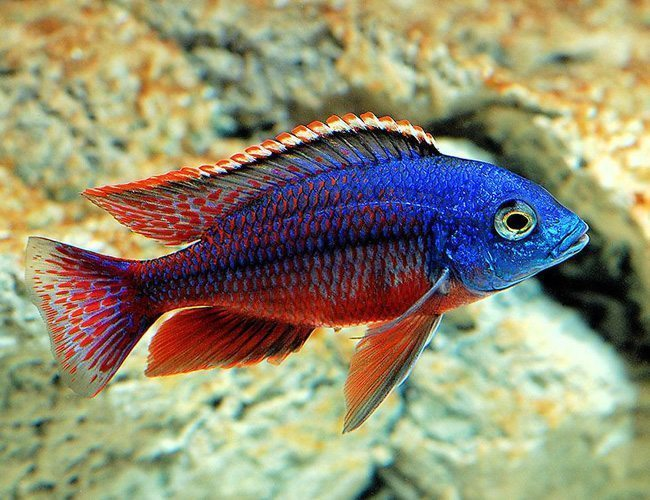 What's The Process Of Buying African Cichlids For Sale Online?