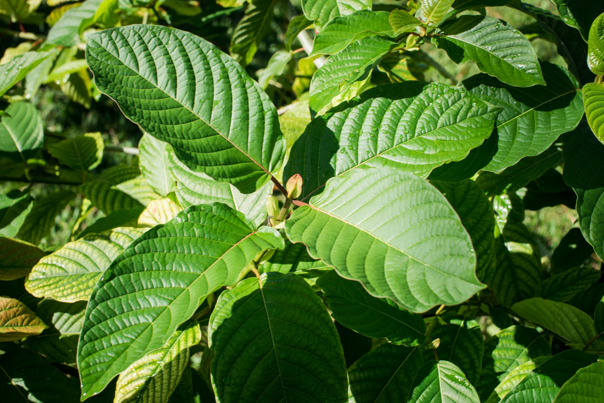 Can Kratom Hurt Your Stomach – Know about the reality